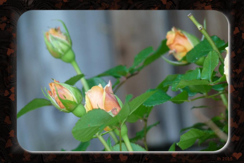 P1120391 Rose mit dunklem Rahmen