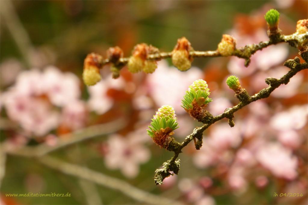 P1020109 Knospen blühen